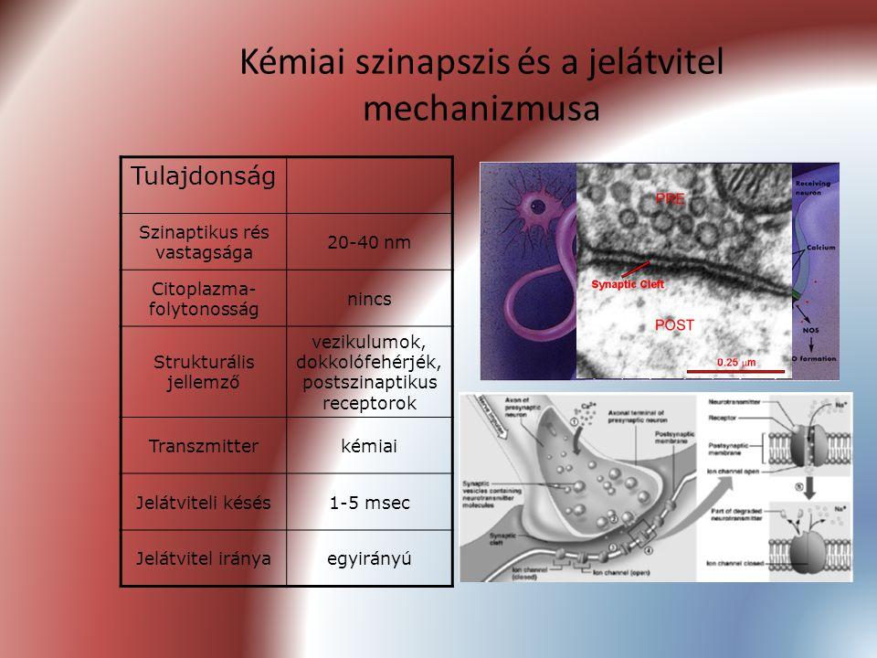 Kémiai szinapszis és a jelátvitel mechanizmusa Tulajdonság Szinaptikus rés vastagsága 20-40 nm Citoplazma- folytonosság nincs Strukturális jellemző ve
