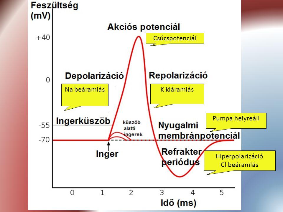 Na beáramlás Csúcspotenciál K kiáramlás Hiperpolarizáció Cl beáramlás Pumpa helyreáll