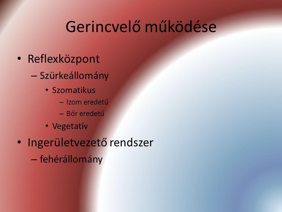 Gerincvelő működése Reflexközpont – Szürkeállomány Szomatikus – Izom eredetű – Bőr eredetű Vegetatív Ingerületvezető rendszer – fehérállomány