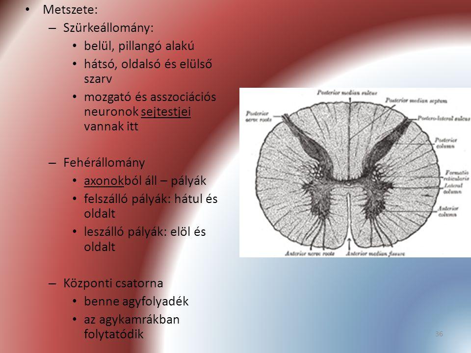 36 Metszete: – Szürkeállomány: belül, pillangó alakú hátsó, oldalsó és elülső szarv mozgató és asszociációs neuronok sejtestjei vannak itt – Fehérállo