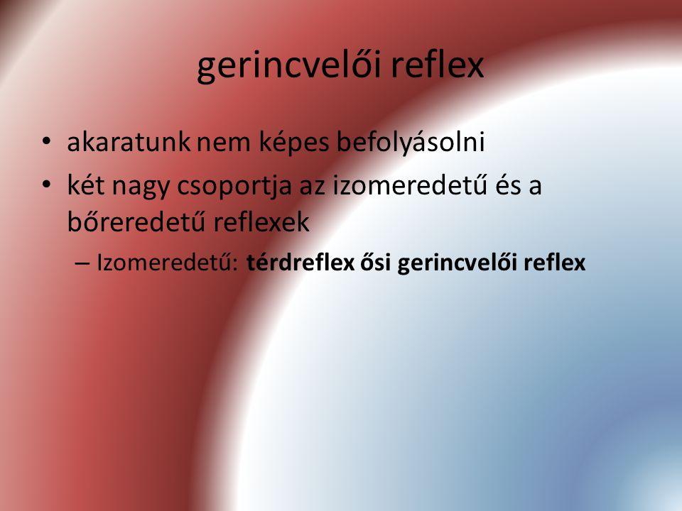 gerincvelői reflex akaratunk nem képes befolyásolni két nagy csoportja az izomeredetű és a bőreredetű reflexek – Izomeredetű: térdreflex ősi gerincvel