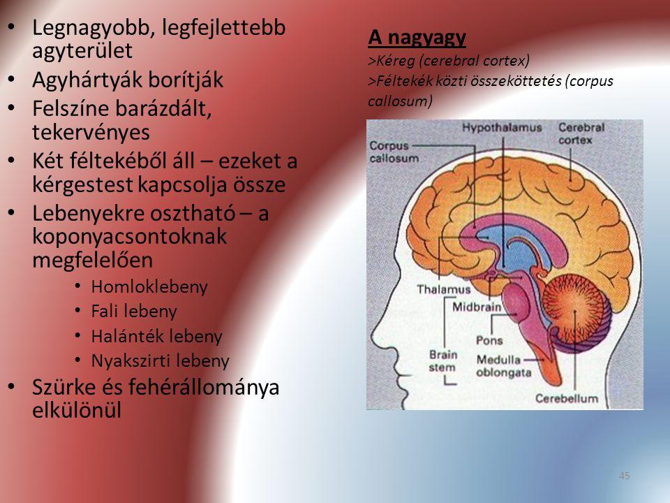 45 A nagyagy >Kéreg (cerebral cortex) >Féltekék közti összeköttetés (corpus callosum) Legnagyobb, legfejlettebb agyterület Agyhártyák borítják Felszín