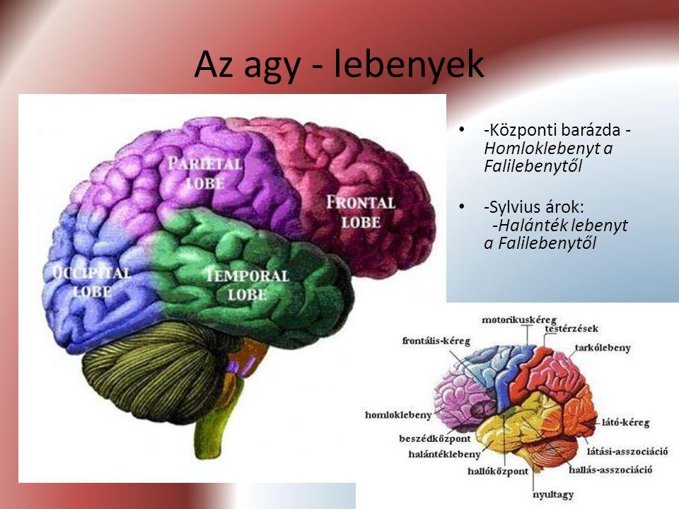 Az agy - lebenyek -Központi barázda - Homloklebenyt a Falilebenytől -Sylvius árok: -Halánték lebenyt a Falilebenytől