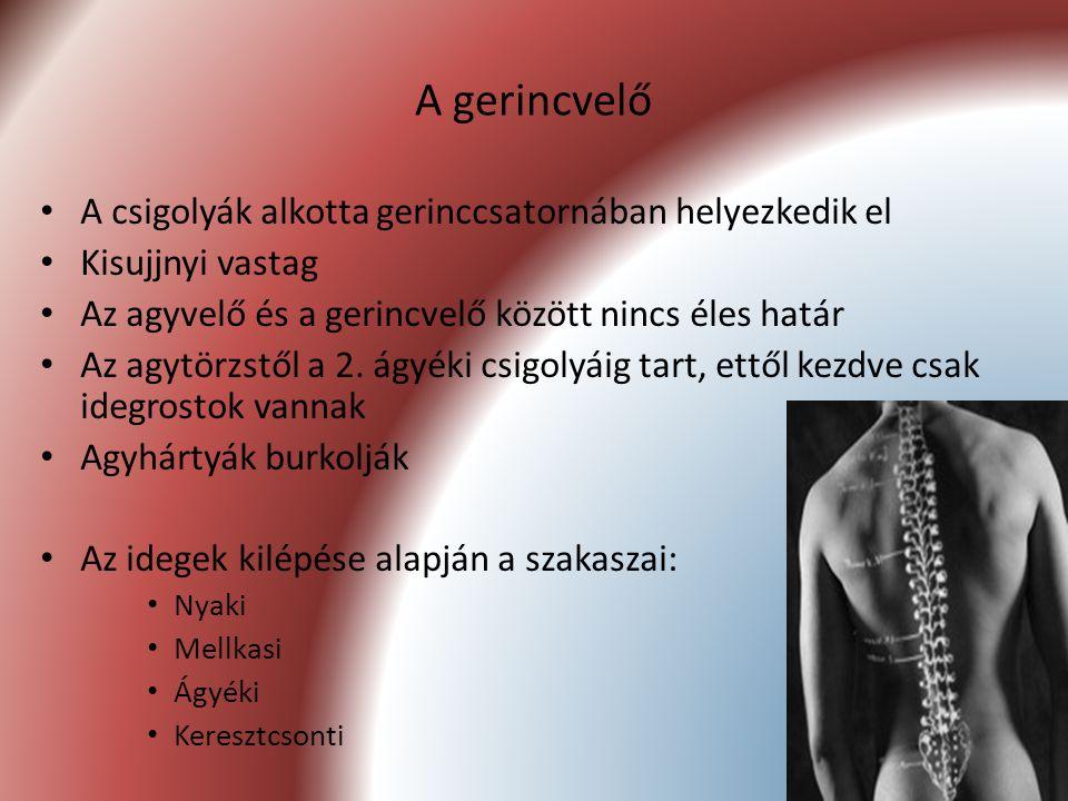 49 A gerincvelő A csigolyák alkotta gerinccsatornában helyezkedik el Kisujjnyi vastag Az agyvelő és a gerincvelő között nincs éles határ Az agytörzstő