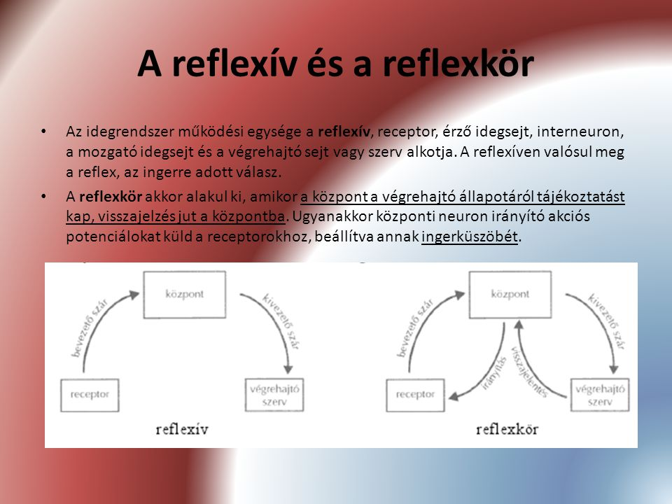 A reflexív és a reflexkör Az idegrendszer működési egysége a reflexív, receptor, érző idegsejt, interneuron, a mozgató idegsejt és a végrehajtó sejt v