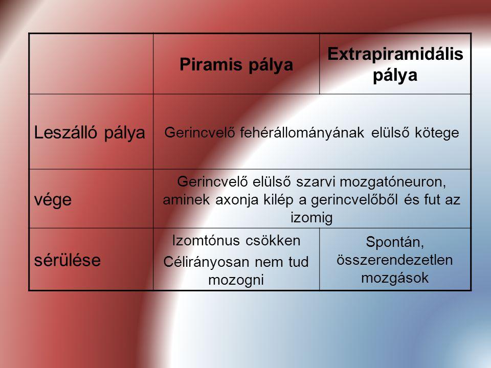 Piramis pálya Extrapiramidális pálya Leszálló pálya Gerincvelő fehérállományának elülső kötege vége Gerincvelő elülső szarvi mozgatóneuron, aminek axo