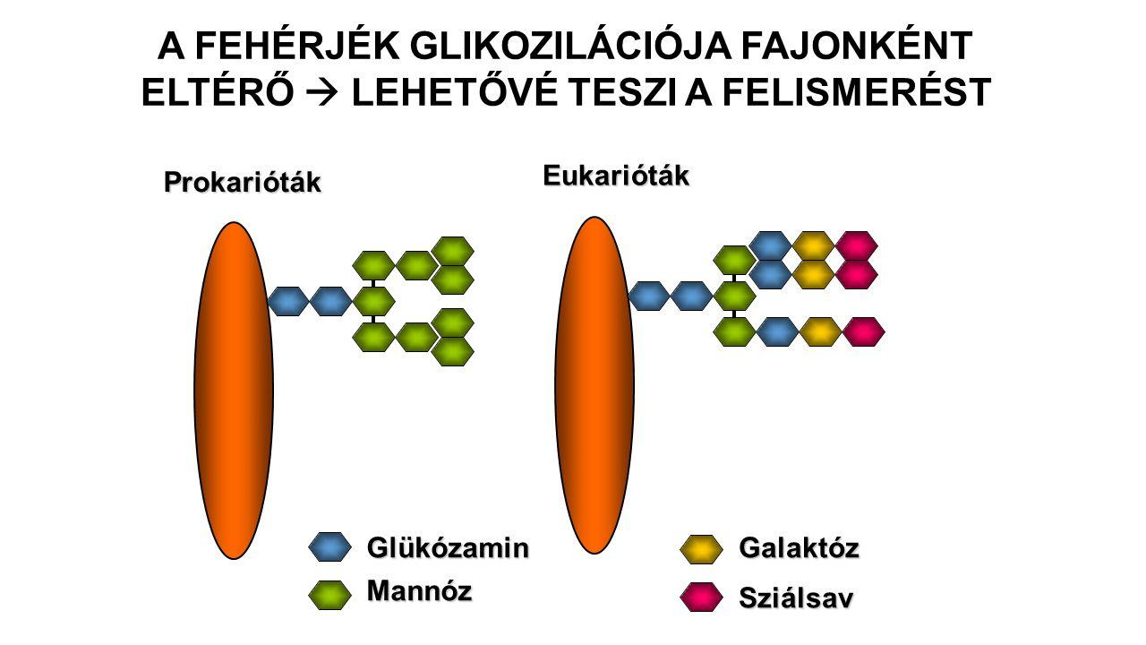 Eukarióták Glükózamin Mannóz Galaktóz Sziálsav A FEHÉRJÉK GLIKOZILÁCIÓJA FAJONKÉNT ELTÉRŐ  LEHETŐVÉ TESZI A FELISMERÉST Prokarióták