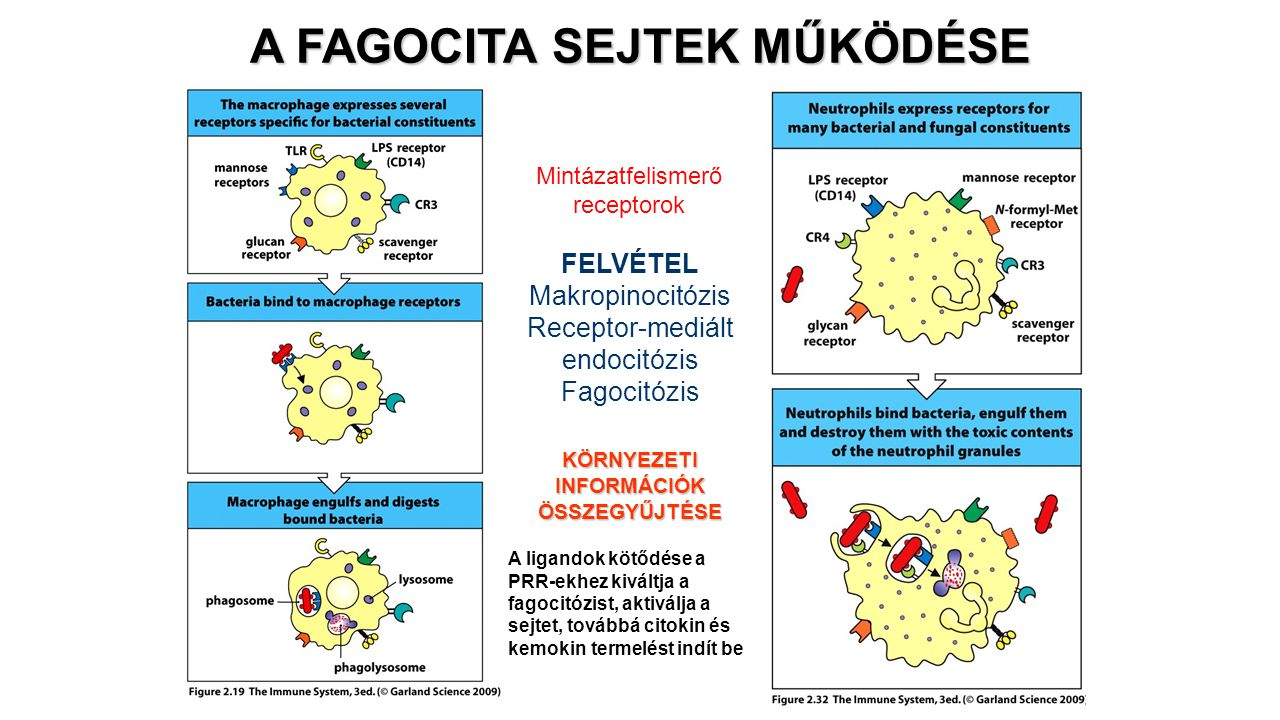 A FAGOCITA SEJTEK MŰKÖDÉSE Mintázatfelismerő receptorok A ligandok kötődése a PRR-ekhez kiváltja a fagocitózist, aktiválja a sejtet, továbbá citokin é