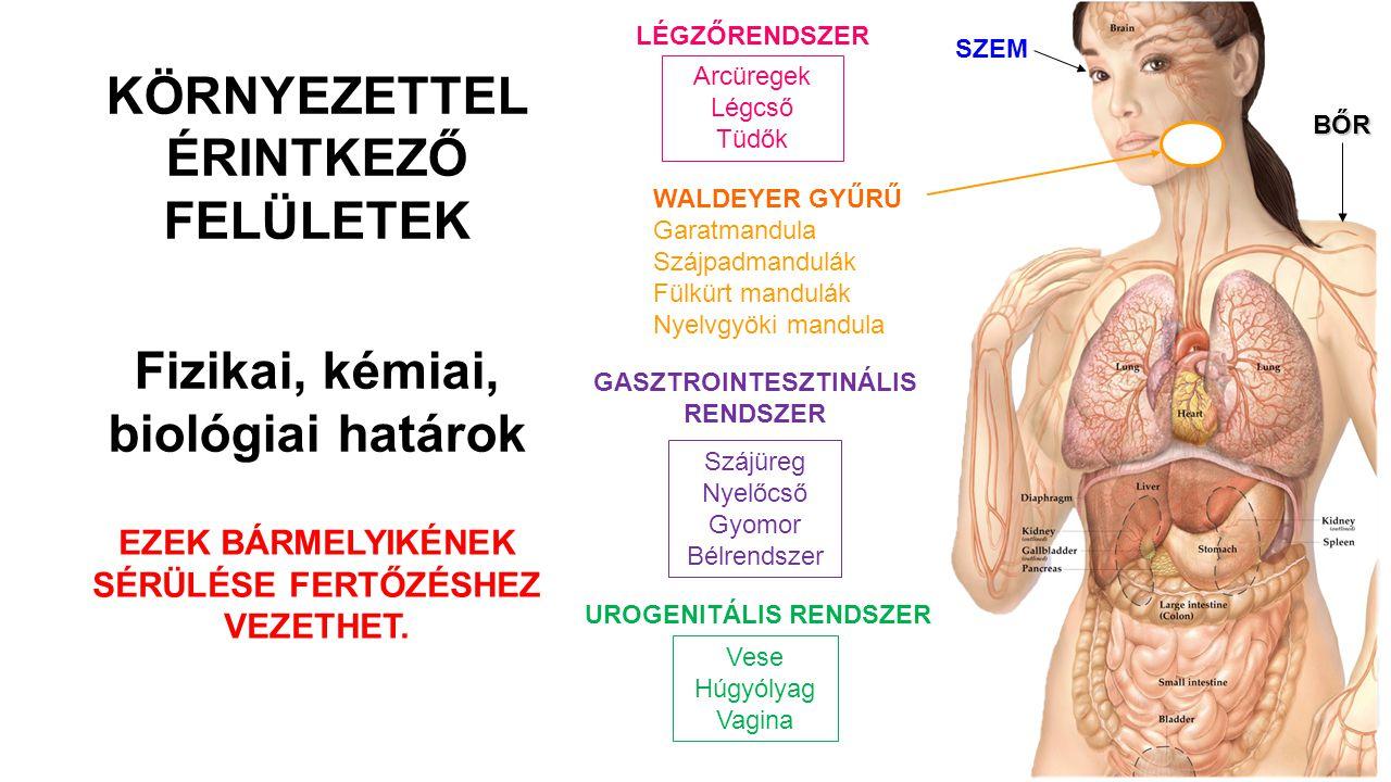 A VÉDELEM ELSŐ VONALA Verejtékezés, párologtatás, hámlás Emésztőnedvek és táplálék áramlása Légáramlás, csillók seprő mozgása Állandó folyadékáramlás Könnyfilm Faggyú (zsírsavak, laktát, lizozim) Kémhatás, emésztő- enzimek Lizozim az orrváladékban Vagina: savas pH Ondó: spermin és cink Lizozim a könnyben Antimikrobiális peptidek (defenzinek) Normál flóra Bőr GI traktus Légzőrendszer Urogen.