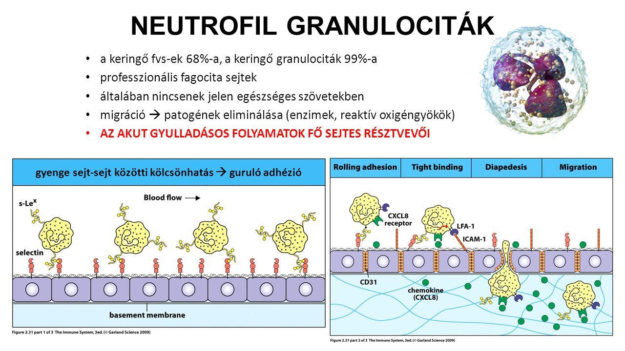 a keringő fvs-ek 68%-a, a keringő granulociták 99%-a professzionális fagocita sejtek általában nincsenek jelen egészséges szövetekben migráció  patog