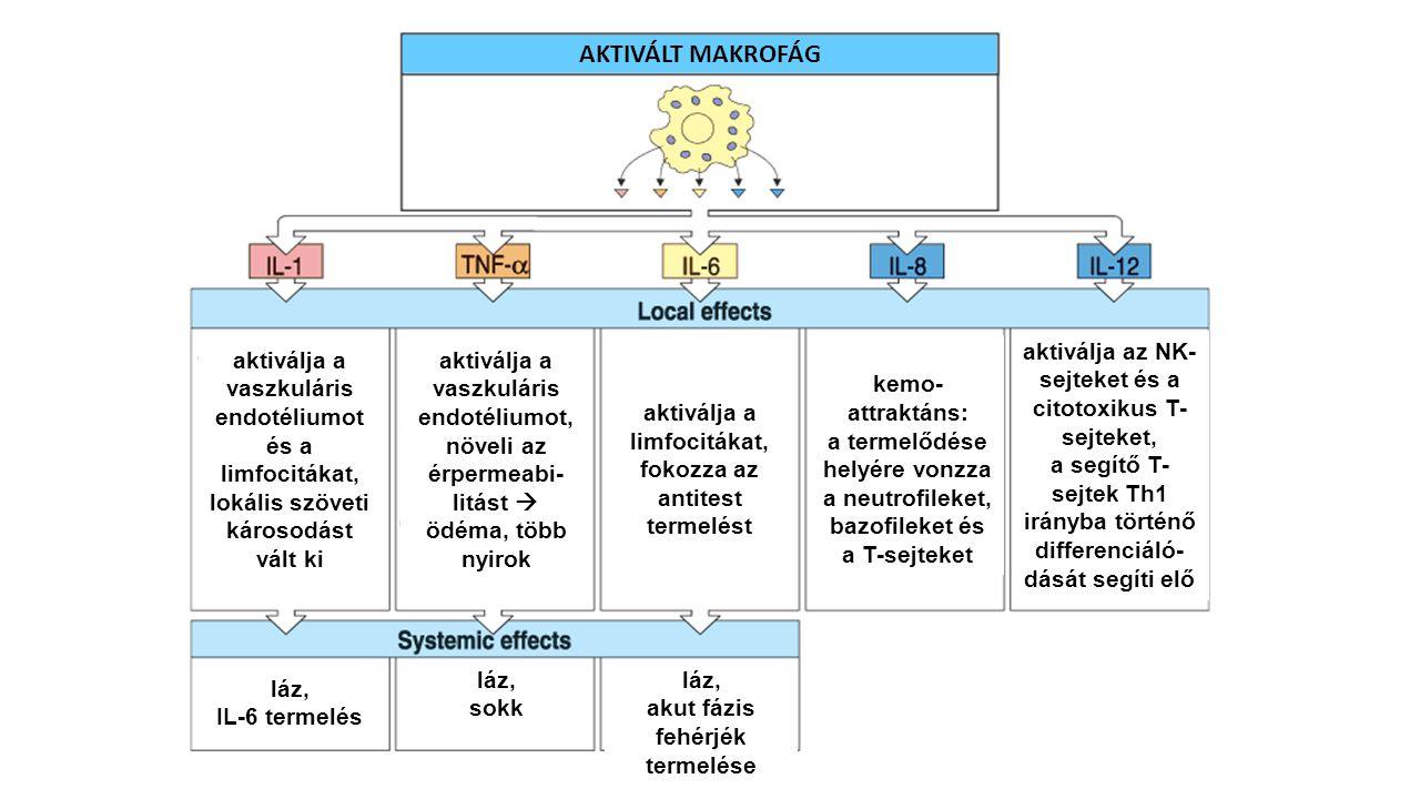 AKTIVÁLT MAKROFÁG aktiválja a vaszkuláris endotéliumot és a limfocitákat, lokális szöveti károsodást vált ki aktiválja a vaszkuláris endotéliumot, növ