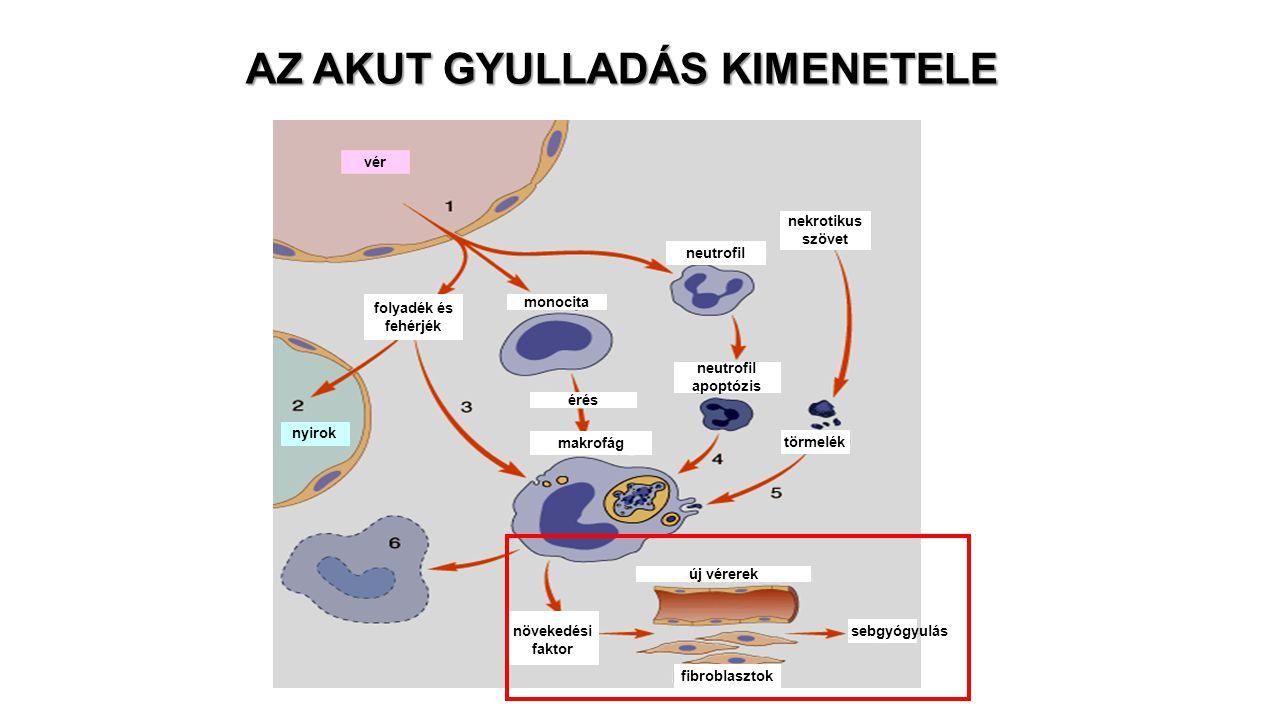 AZ AKUT GYULLADÁS KIMENETELE nekrotikus szövet neutrofil törmelék fibroblasztok új vérerek monocita érés neutrofil apoptózis vér nyirok sebgyógyulás f