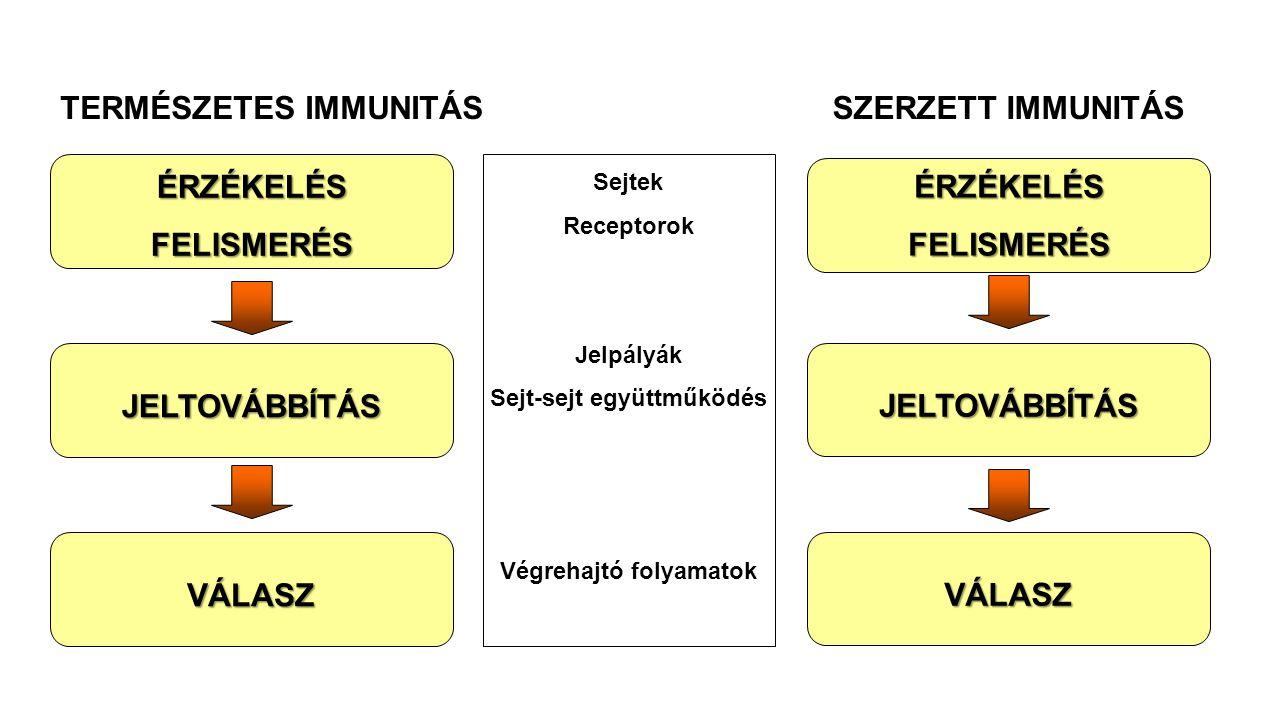 ÉRZÉKELÉSFELISMERÉS JELTOVÁBBÍTÁS VÁLASZ TERMÉSZETES IMMUNITÁSÉRZÉKELÉSFELISMERÉS JELTOVÁBBÍTÁS VÁLASZ SZERZETT IMMUNITÁS Sejtek Receptorok Jelpályák
