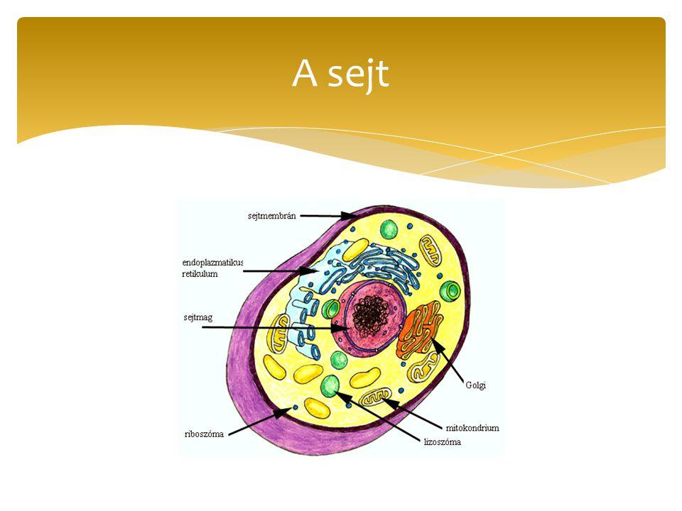 c.) sejtmag:működést irányítja, sejtmagvacska a szaporodást.