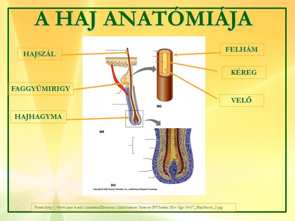 Forrás: http://hairtransplantsurgery.ie/live/img/diagram_1.gif A HAJ NÖVEKEDÉSI FÁZISAI 1.A NAGÉN FÁZIS 2.
