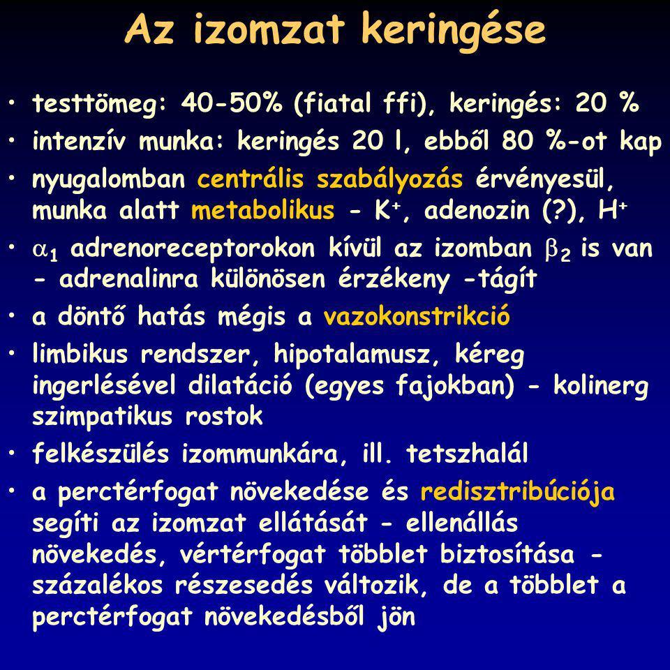 Az izomzat keringése testtömeg: 40-50% (fiatal ffi), keringés: 20 % intenzív munka: keringés 20 l, ebből 80 %-ot kap nyugalomban centrális szabályozás érvényesül, munka alatt metabolikus - K +, adenozin (?), H +  1 adrenoreceptorokon kívül az izomban  2 is van - adrenalinra különösen érzékeny -tágít a döntő hatás mégis a vazokonstrikció limbikus rendszer, hipotalamusz, kéreg ingerlésével dilatáció (egyes fajokban) - kolinerg szimpatikus rostok felkészülés izommunkára, ill.