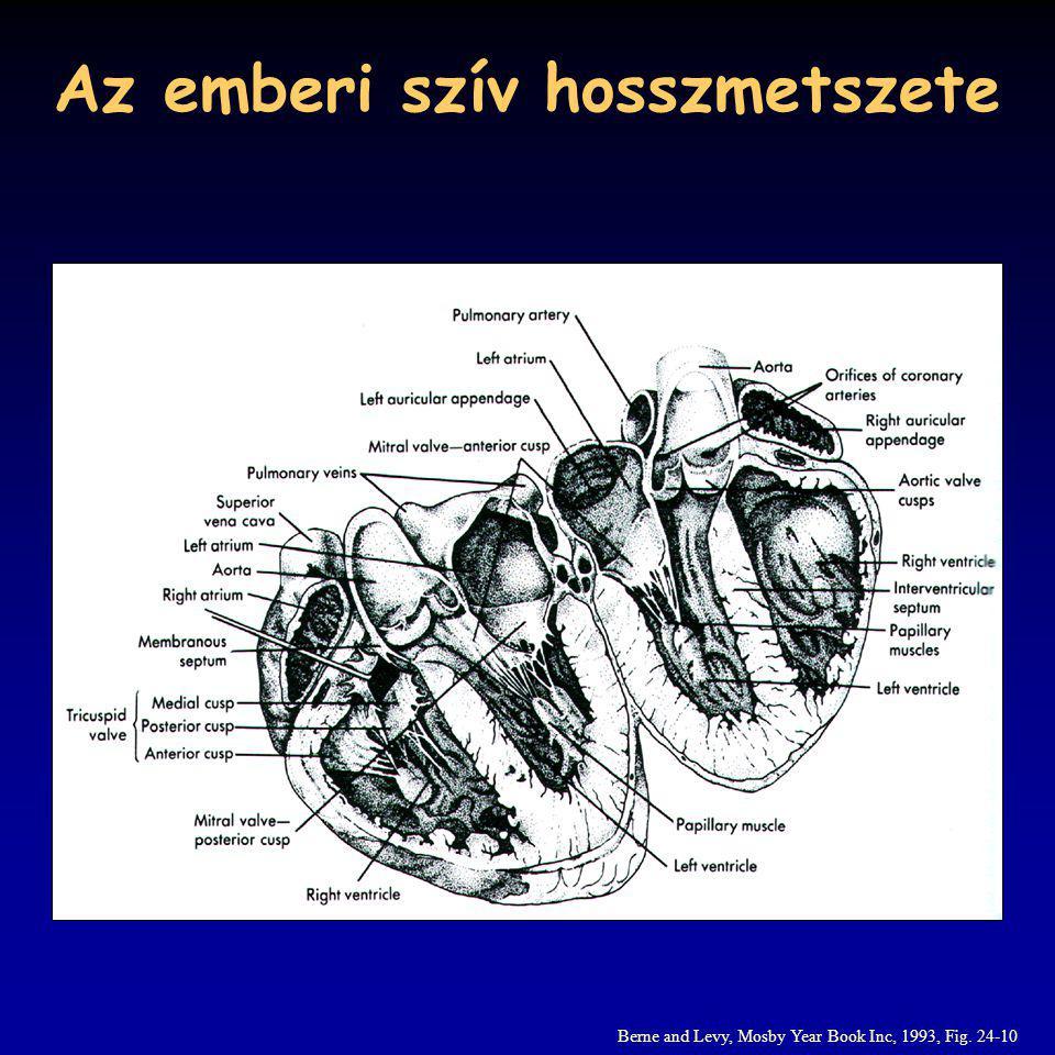 Az emberi szív hosszmetszete Berne and Levy, Mosby Year Book Inc, 1993, Fig. 24-10