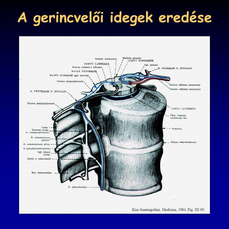 A gerincvelői idegek eredése Kiss-Szentagothai, Medicina, 1964, Fig. III-90