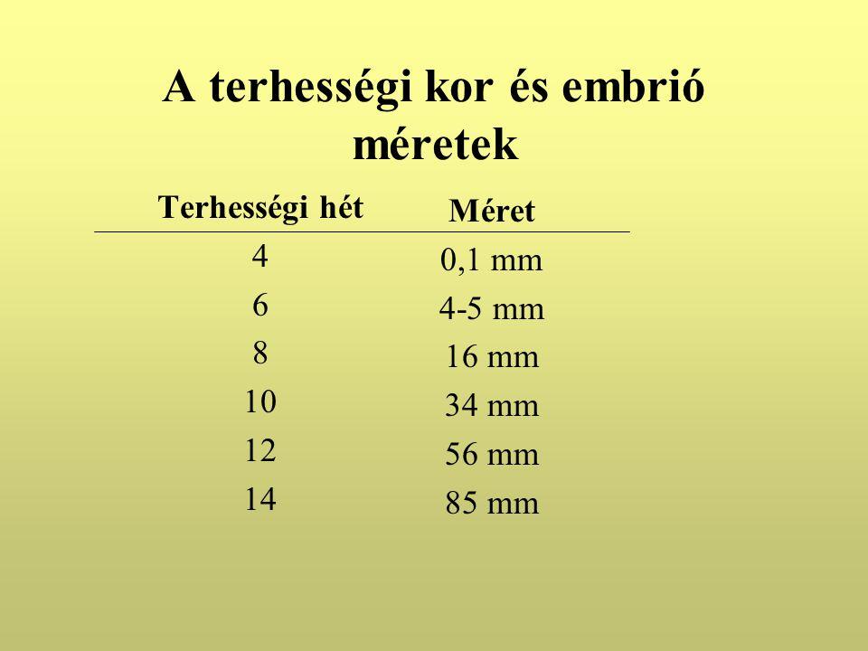 A terhességi kor és embrió méretek Terhességi hét 4 6 8 10 12 14 Méret 0,1 mm 4-5 mm 16 mm 34 mm 56 mm 85 mm