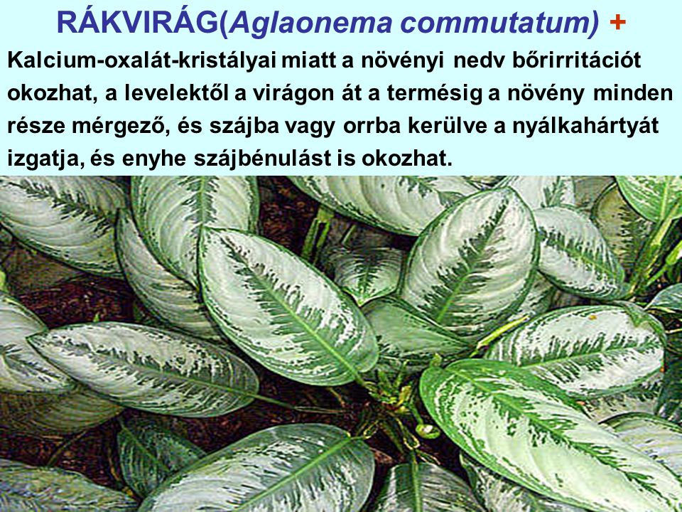 RÁKVIRÁG(Aglaonema commutatum) + Kalcium-oxalát-kristályai miatt a növényi nedv bőrirritációt okozhat, a levelektől a virágon át a termésig a növény minden része mérgező, és szájba vagy orrba kerülve a nyálkahártyát izgatja, és enyhe szájbénulást is okozhat.