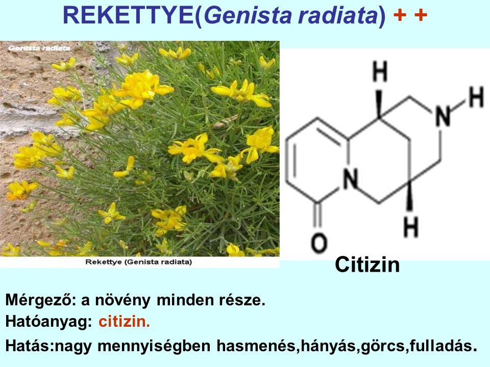 REKETTYE(Genista radiata) + + Mérgező: a növény minden része.