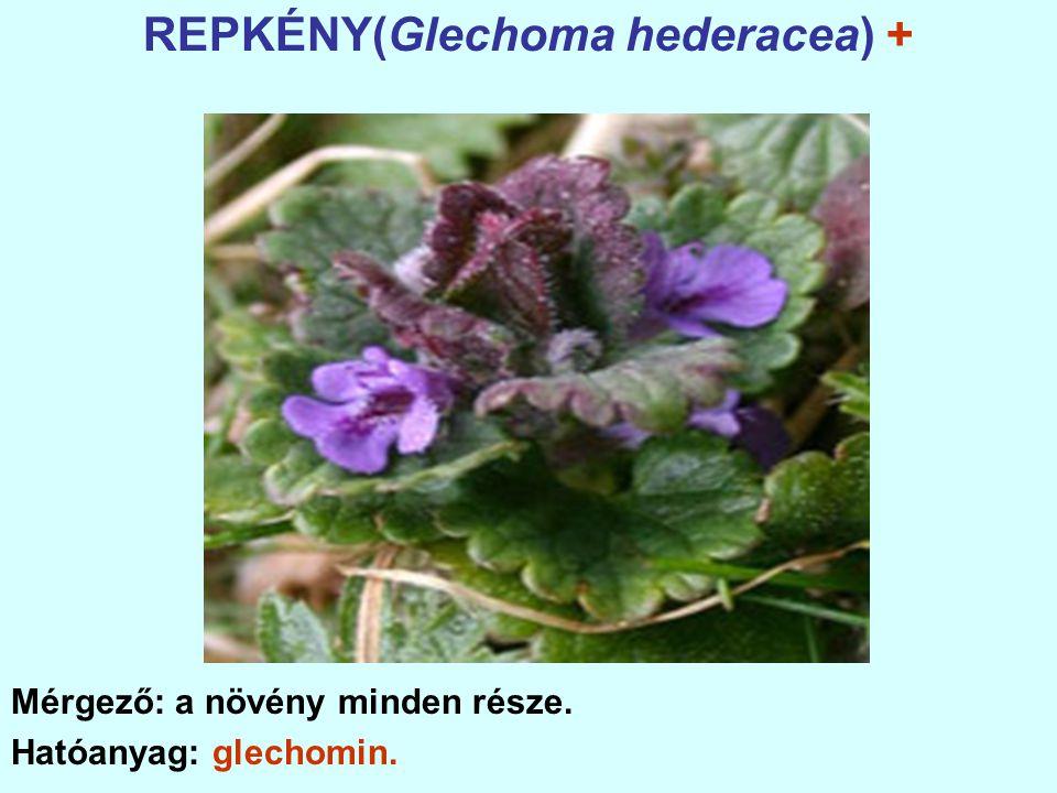REPKÉNY(Glechoma hederacea) + Mérgező: a növény minden része. Hatóanyag: glechomin.