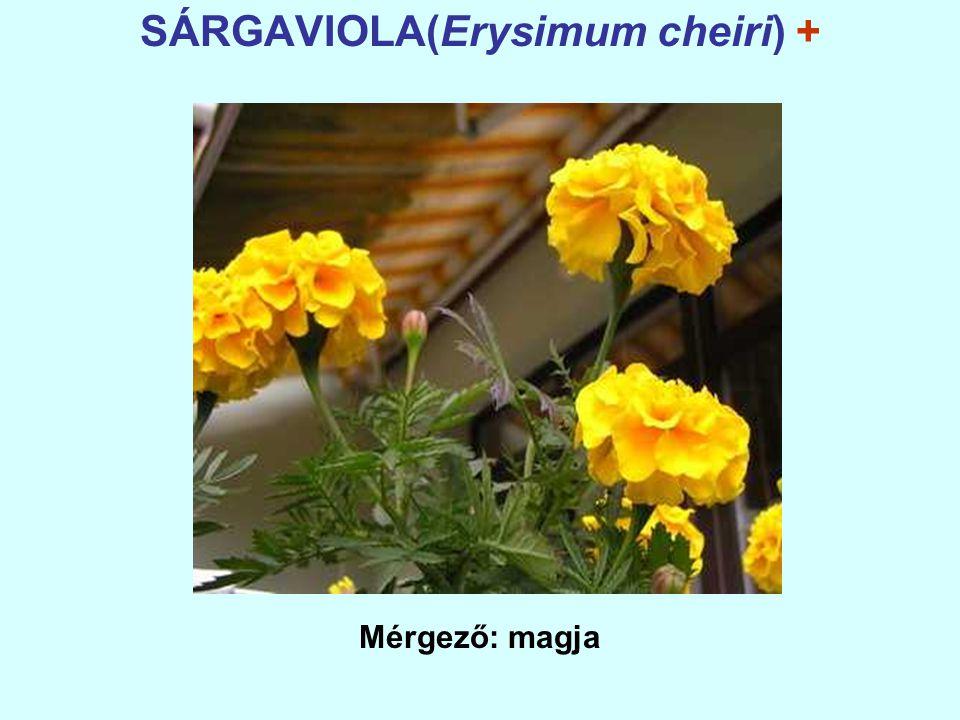 SÁRGAVIOLA(Erysimum cheiri) + Mérgező: magja