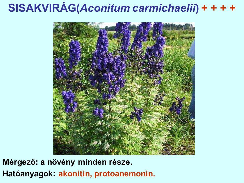 SISAKVIRÁG(Aconitum carmichaelii) + + + + Mérgező: a növény minden része.