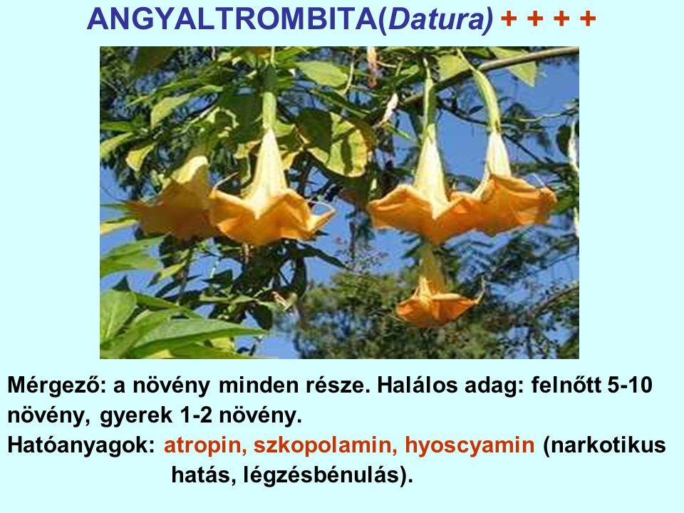 ANGYALTROMBITA(Datura) + + + + Mérgező: a növény minden része.