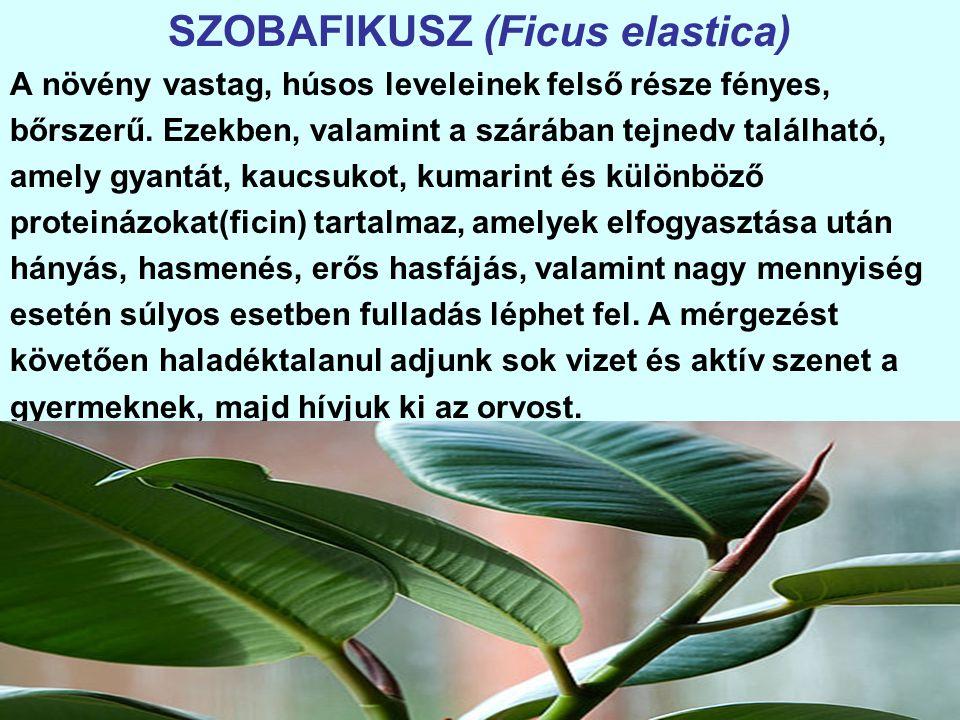 SZOBAFIKUSZ (Ficus elastica) A növény vastag, húsos leveleinek felső része fényes, bőrszerű.