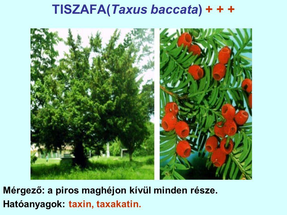 TISZAFA(Taxus baccata) + + + Mérgező: a piros maghéjon kívül minden része.