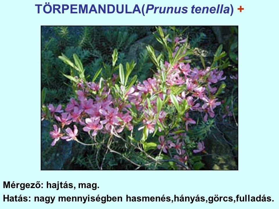 TÖRPEMANDULA(Prunus tenella) + Mérgező: hajtás, mag.