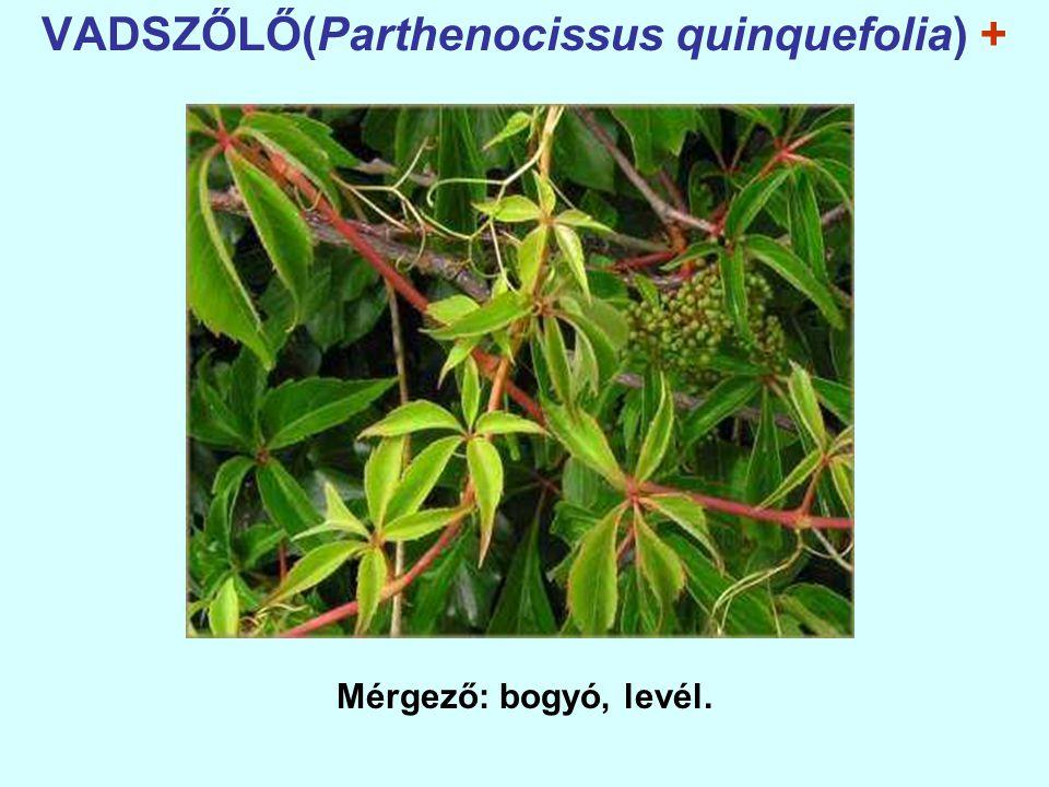 VADSZŐLŐ(Parthenocissus quinquefolia) + Mérgező: bogyó, levél.