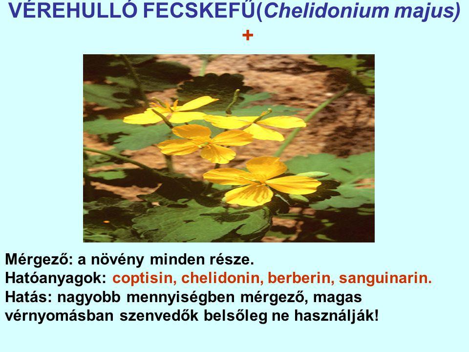 VÉREHULLÓ FECSKEFŰ(Chelidonium majus) + Mérgező: a növény minden része.