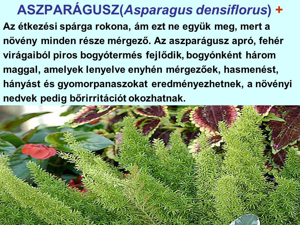 ASZPARÁGUSZ(Asparagus densiflorus) + Az étkezési spárga rokona, ám ezt ne együk meg, mert a növény minden része mérgező.