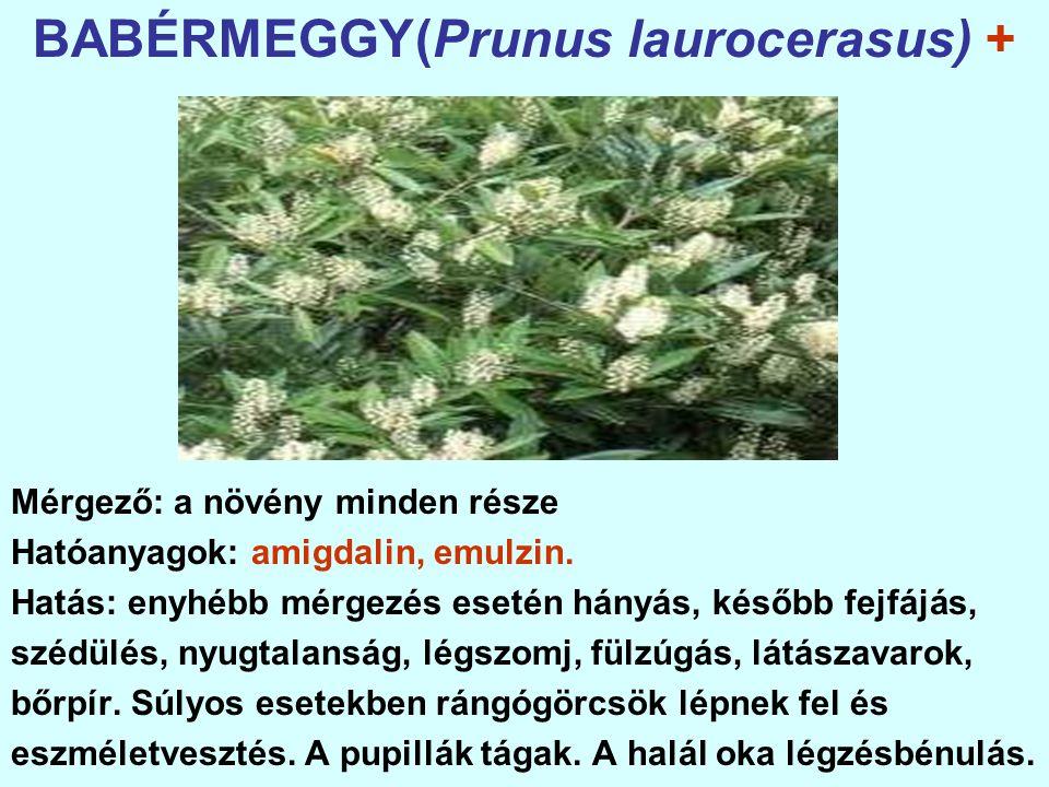 BABÉRMEGGY(Prunus laurocerasus) + Mérgező: a növény minden része Hatóanyagok: amigdalin, emulzin.