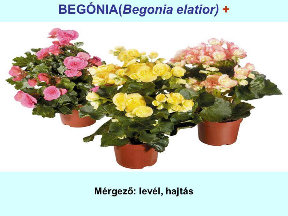 BEGÓNIA(Begonia elatior) + Mérgező: levél, hajtás