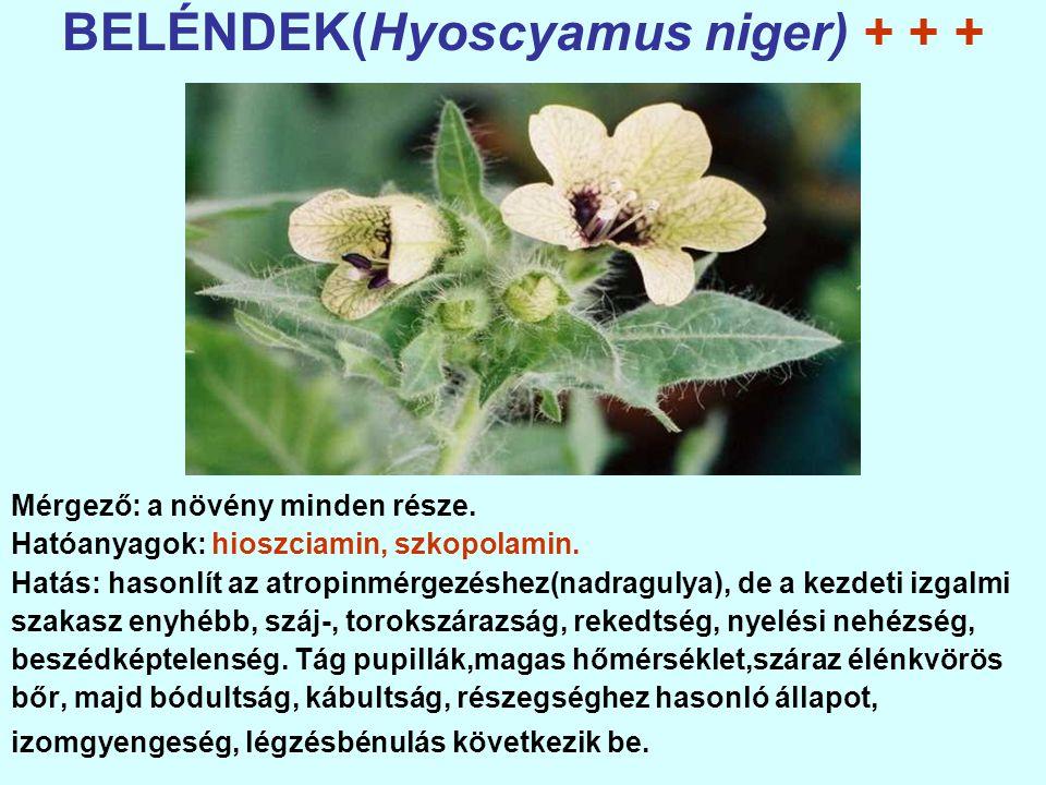 BELÉNDEK(Hyoscyamus niger) + + + Mérgező: a növény minden része.