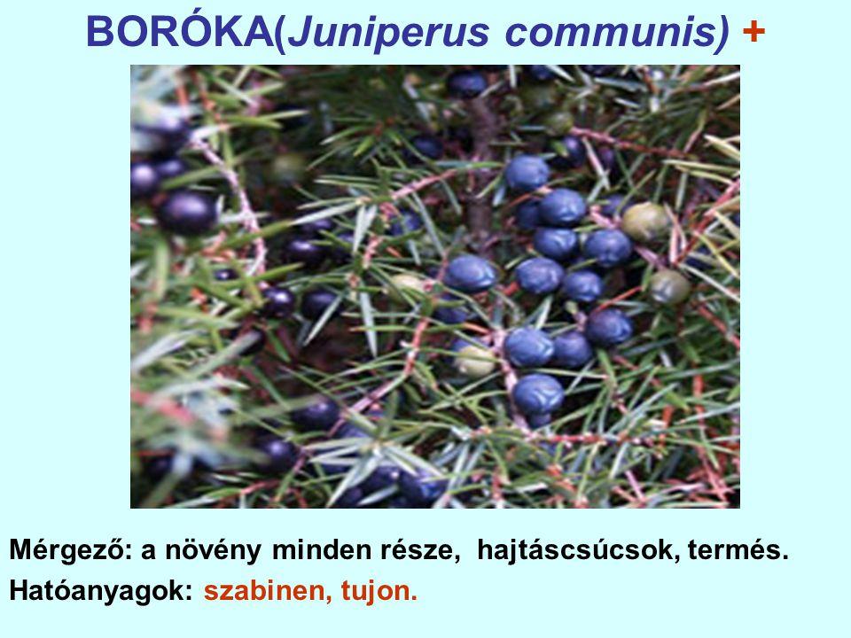 BORÓKA(Juniperus communis) + Mérgező: a növény minden része, hajtáscsúcsok, termés.
