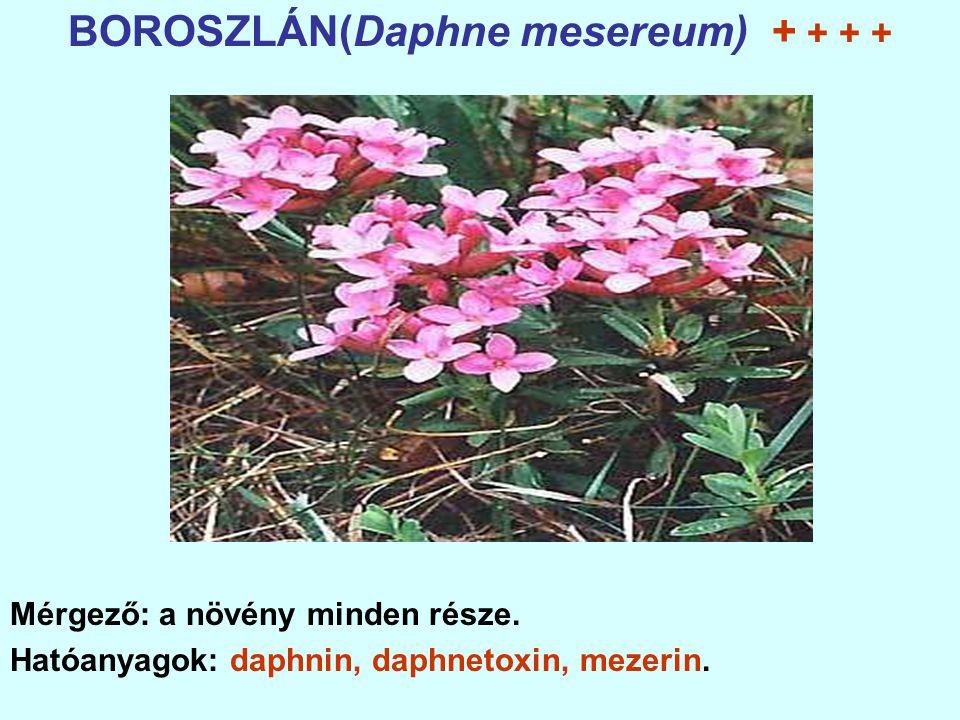 BOROSZLÁN(Daphne mesereum) + + + + Mérgező: a növény minden része.