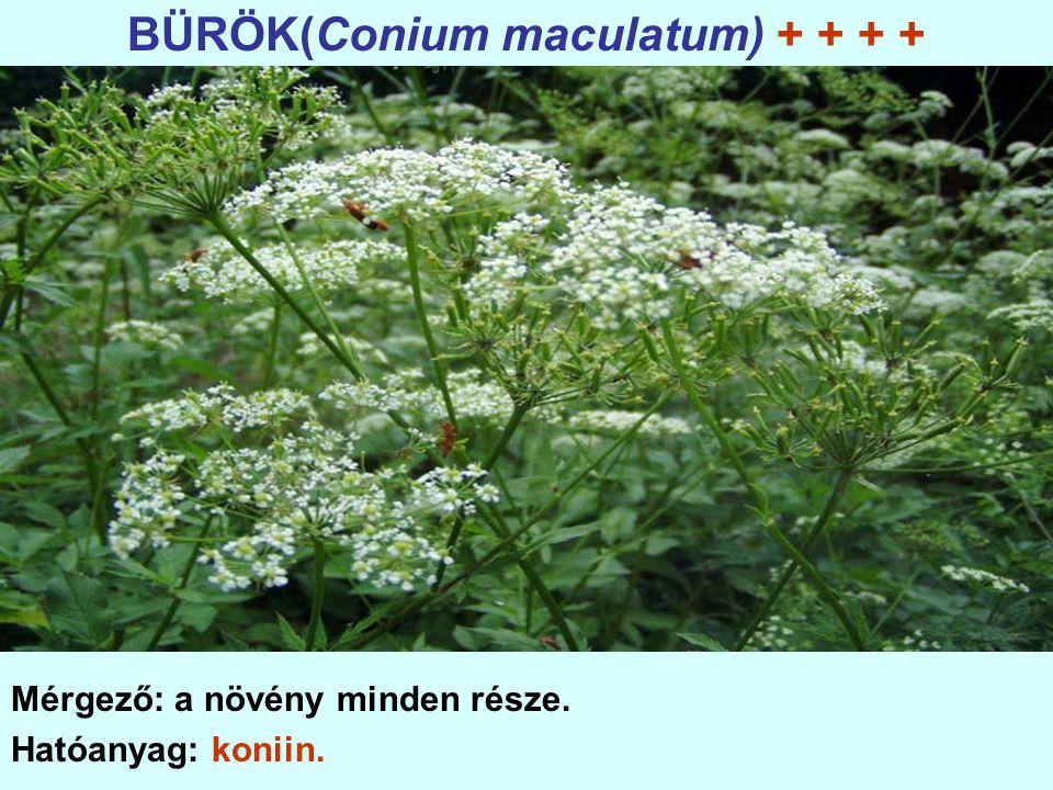 BÜRÖK(Conium maculatum) + + + + Mérgező: a növény minden része. Hatóanyag: koniin.