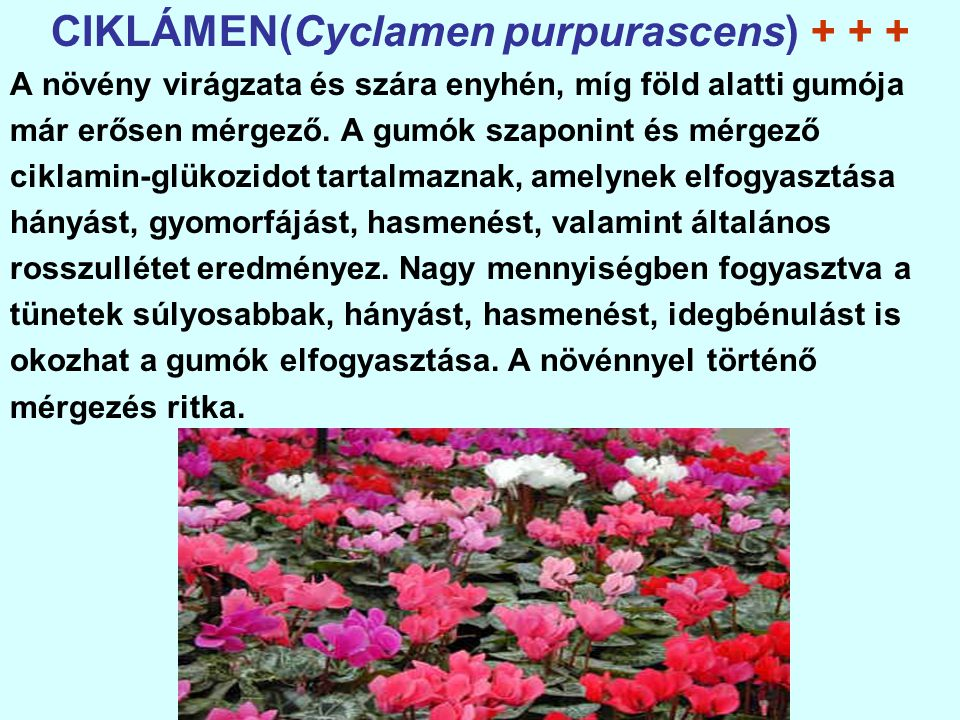 CIKLÁMEN(Cyclamen purpurascens) + + + A növény virágzata és szára enyhén, míg föld alatti gumója már erősen mérgező.