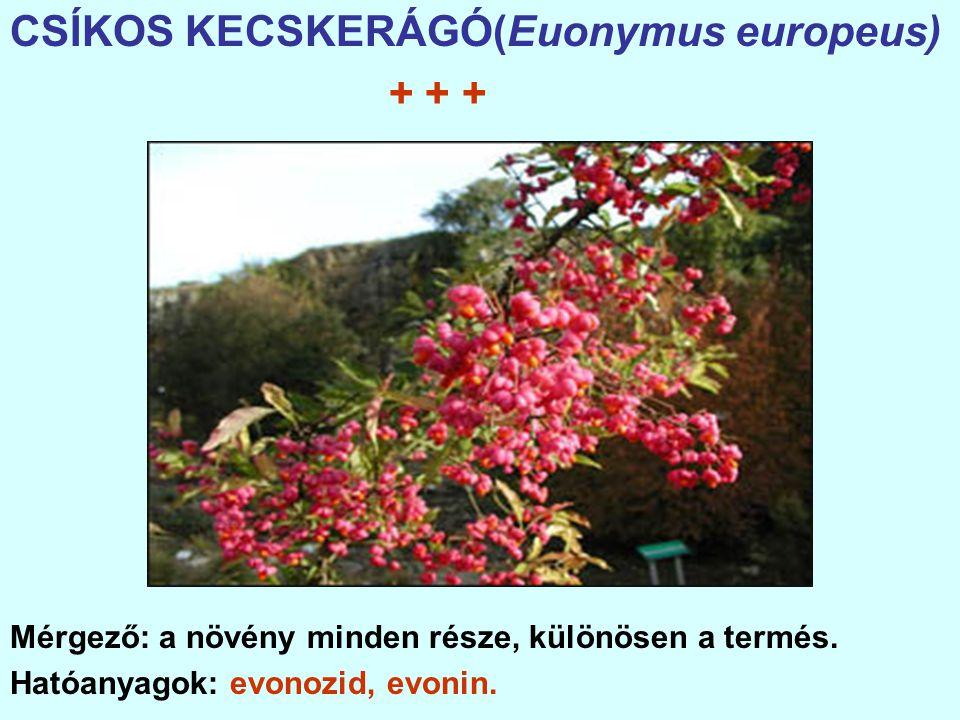 CSÍKOS KECSKERÁGÓ(Euonymus europeus) + + + Mérgező: a növény minden része, különösen a termés.
