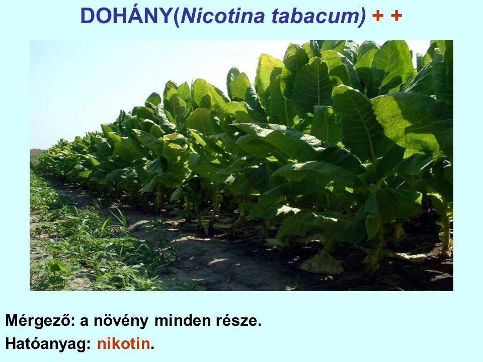 DOHÁNY(Nicotina tabacum) + + Mérgező: a növény minden része. Hatóanyag: nikotin.