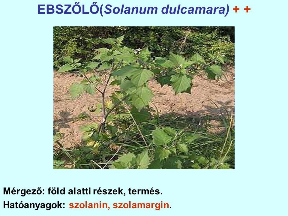 EBSZŐLŐ(Solanum dulcamara) + + Mérgező: föld alatti részek, termés.