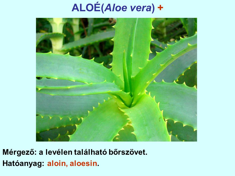 ALOÉ(Aloe vera) + Mérgező: a levélen található bőrszövet. Hatóanyag: aloin, aloesin.