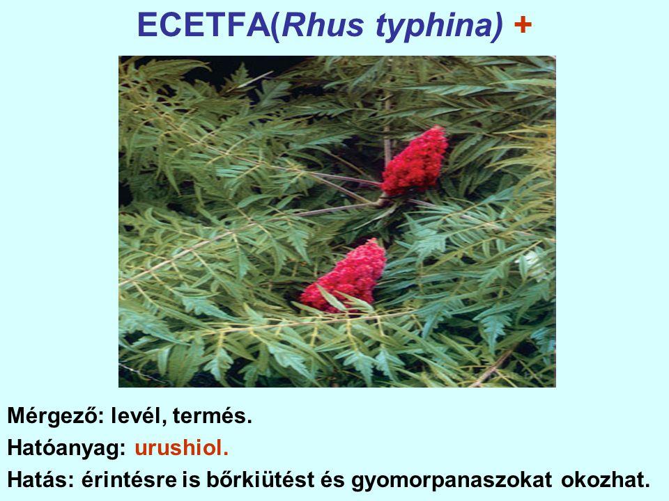 ECETFA(Rhus typhina) + Mérgező: levél, termés.Hatóanyag: urushiol.