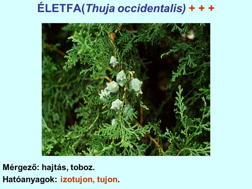 ÉLETFA(Thuja occidentalis) + + + Mérgező: hajtás, toboz. Hatóanyagok: izotujon, tujon.