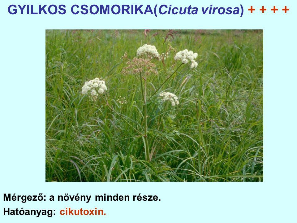 GYILKOS CSOMORIKA(Cicuta virosa) + + + + Mérgező: a növény minden része. Hatóanyag: cikutoxin.