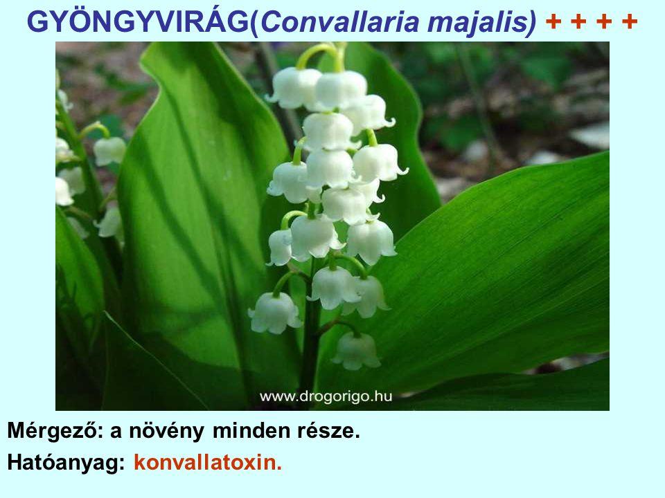 GYÖNGYVIRÁG(Convallaria majalis) + + + + Mérgező: a növény minden része. Hatóanyag: konvallatoxin.